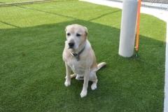 Dog Park Turf